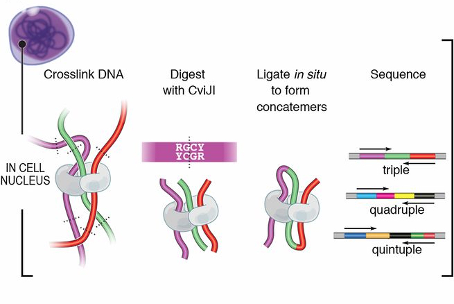 Concatemers produced by proximity ligation indicate simultaneous colocation of three or more loci: a modified in situ Hi-C protocol, dubbed