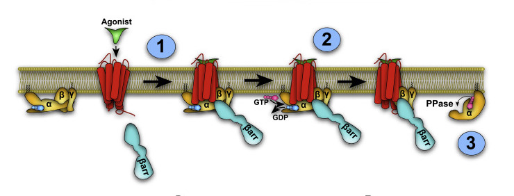 Schematic presentation of the biochemical steps in G protein activation in the megaplex: (1) heterotrimeric G protein is recruited to the GPCR-?arr