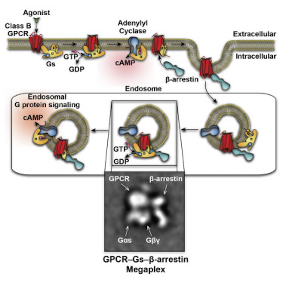 After a G protein receptor is taken back into the cell, it can apparently continue to signal from the cellular compartment. / Credit: Cell Thomsen et al