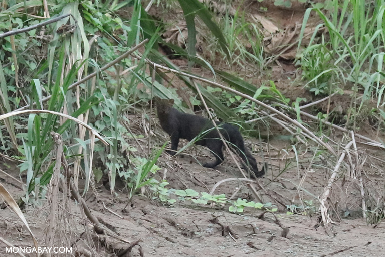 Jaguarundi along the Madre de Dios River in Peru. Photo by Rhett A. Butler