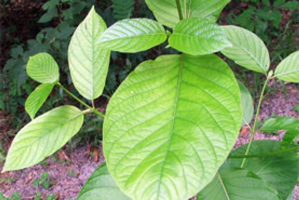 Kratom and the war on an 'herbal supplement'? | Image: wikipedia.org
