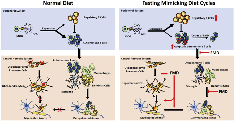 In this simplified model, Fasting-Mimicking Diet (FMD) promotes glucocorticoid production, increases Treg cell numbers, blocks T cell activation, promotes T cell death. In the lesion area, FMD reduces autoimmune T cell and microglia infiltration, promotes regeneration and differentiation of myelinating oligodendrocytes, which work with demyelinated axons to promote formation of myelin sheaths.