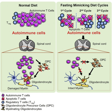 A comparison of the effects of normal and fasting-like diets on immune cells