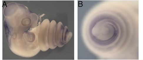 (A and B) Oct4 expression in a corn snake embryo shortly after it underwent trunk-to-tail transition. (B) shows a close-up of the lower trunk/tail region. / Credit: Developmental Cell Aires et al