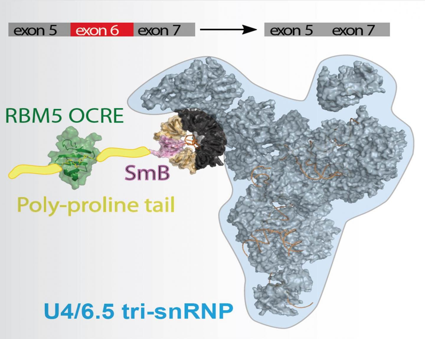 The protein RBM5 helps to bring the spliceosome to the mRNA by binding to a spliceosomal protein. Thereby, RBM5 decides which isoform of Fas is produced. / Credit: Source: Helmholtz Zentrum München