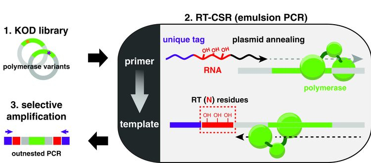 Researchers used a technique they called reverse transcription-compartmentalized self-replication (RT-CSR) to make the new reverse transcriptase, using evolution, from a DNA polymerase (that is able to correct errors). Libraries of polymerase variants are made, expressd and in vitro compartmentalized. In emulsion PCR, primers flank the polymerase for self-replication with a variable number of RNA bases separating the plasmid annealing portion from a unique recovery tag.