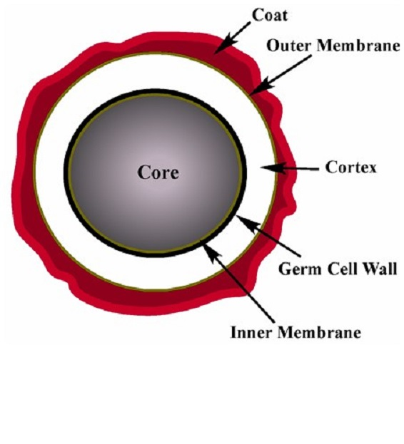 The spore structure, from the outer to inner layers, consists of the exosporium, the spore coat, the outer membrane, the cortex, the germ cell wall, the inner spore membrane, and the core.