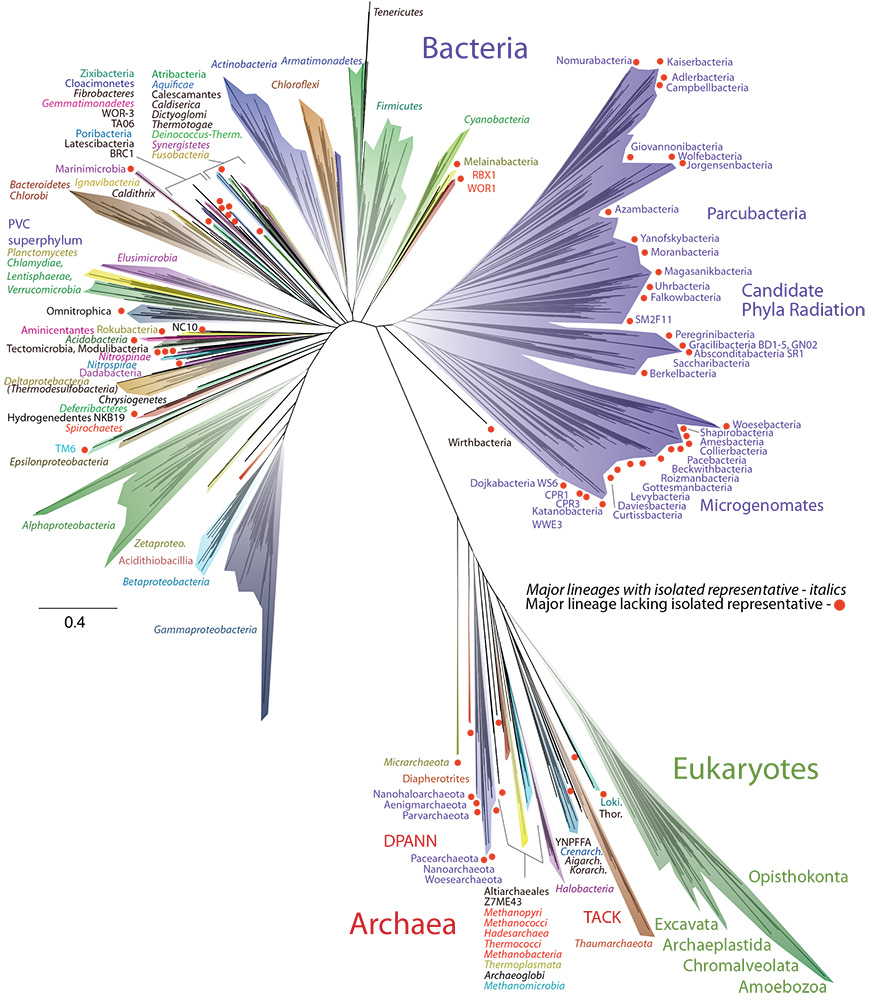 An artistic representation of the tree of life, with the many groups of bacteria on the left, the uncultivable bacteria at upper right (purple), and the Archaea and eukaryotes (green)-which includes humans-at the lower right.