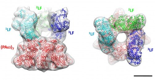 The crystal structures of the anthrax toxin LF and PA subunits are superimposed on the 3-D map of the prepore complex obtained by cryo-electron microscopy. The side view (left) and top-down view (right) show three LF molecules perched above the rim of the pore formed by seven PA subunits. / Credit: JGP Fabre et al