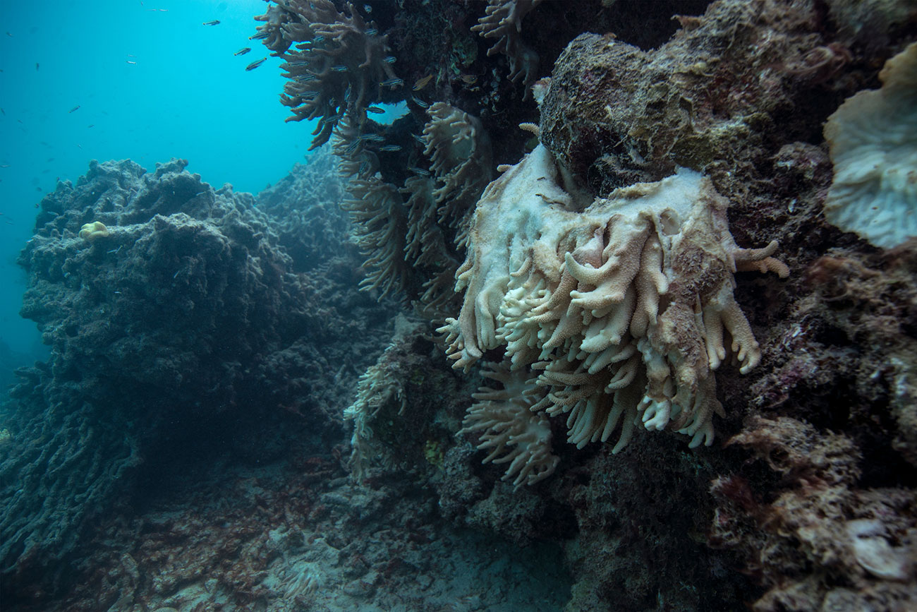 Dead and dying coral at Lizard Island on Australia's Great Barrier Reef. The once brilliant coral is blanketed by seaweed - a sign of extreme ecosystem meltdown. Photo Credit: Ocean Agency