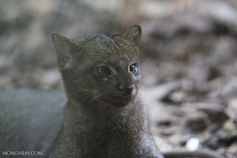 Jaguarundis are rare in captive collections in the United States; zoos don't currently exhibit them, though there is now talk among them about including jaguarundis. Photo by Rhett A. Butler