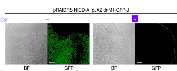 hESCs harbouring pRAIDRS NICD-A and pJAZ dnM1-GFP-J were treated with 50??M coronatine (+) or 0.1% DMSO (?) for 1 day. Bright-field (BF) and fluorescence microscopic images demonstrate effective coronatine-dependent degradation of dnM1-GFP-J. Scale bars, 100??m. Dashed lines mark colony borders. Experiment was conducted more than three times and representative images are displayed. / Credit: Nature Communications Brosh et al