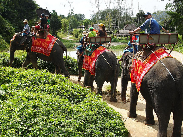 Elephant safari in Phuket, Thailand. Investigations by UK charity World Animal Protection alleged that elephants used in rides go through a training called