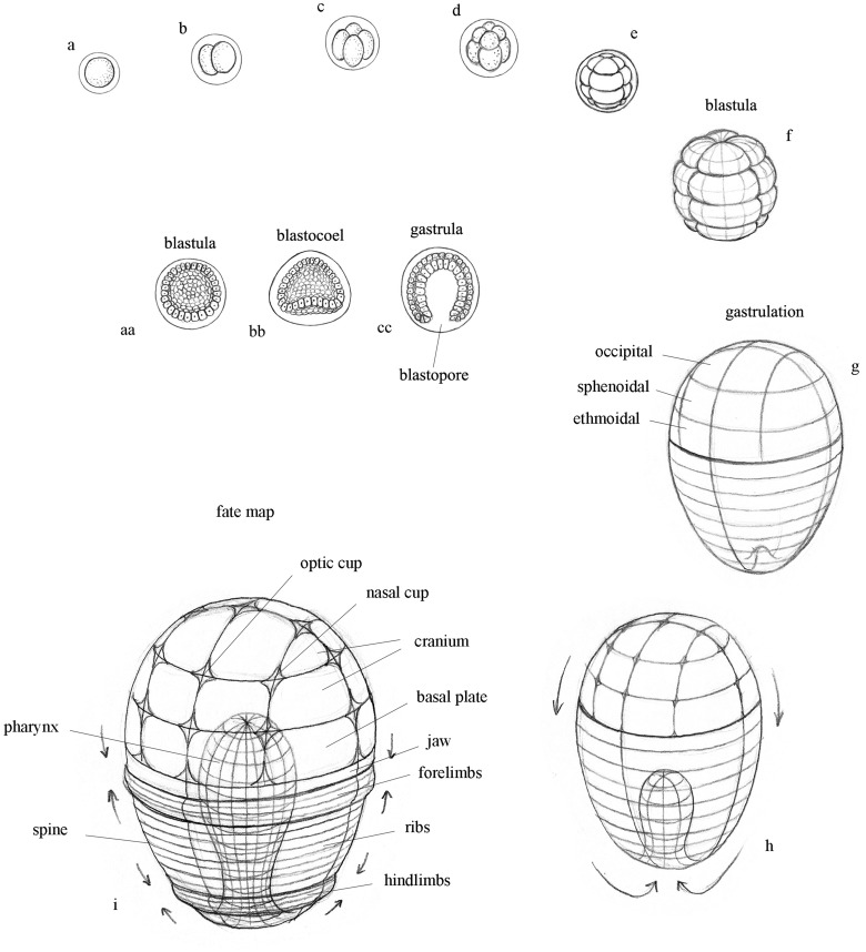 Blastulation, gastrulation, and embryonic fate map. a. Egg; b-f. Cleavage; g-h. Gastrulation; i. Schematic 'fate map' showing orientation of prospective embryonic structures that emerge following gastrulation. aa-cc. Schematic organization of cell layers during early stages of development. aa. Blastula; bb. Blastocoel; cc. Gastrula.Credit: Progress in Biophysics & Molecular Biology, Edelman et al