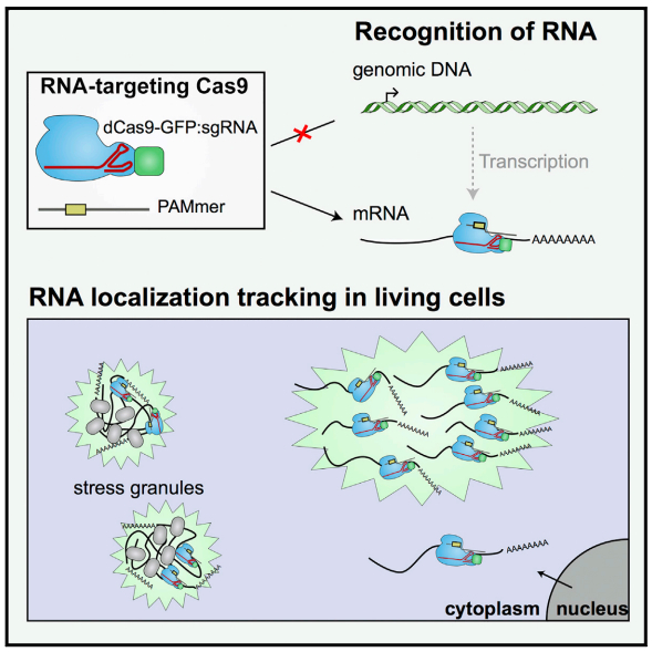 CRISPR/Cas9 can bind RNA to allow endogenous RNA tracking in living cells; nuclear-localized RNA-targeting Cas9 (RCas9) gets exported to the cytoplasm in the presence of sgRNAs targeting mRNA