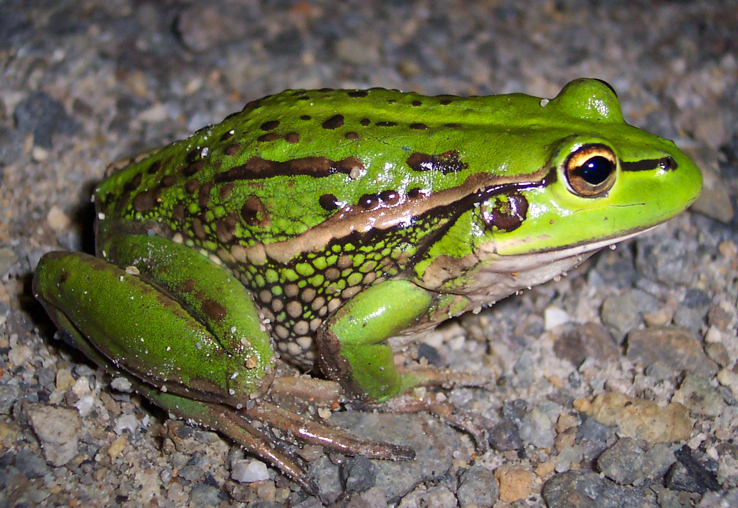 Growling grass frog / Credit: Wikimedia