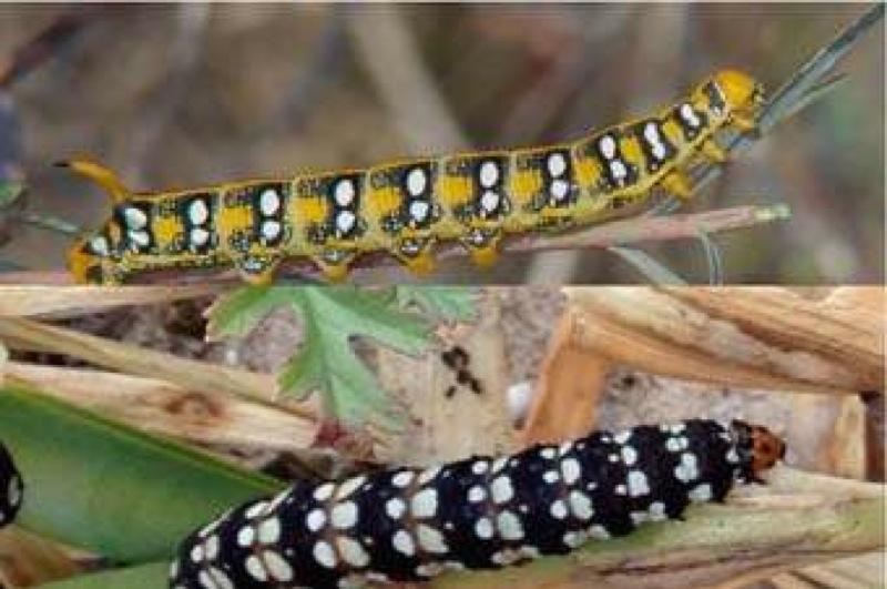 Toxic plant feeders: moth larvae from the Albufera lake, Valencia, Spain. / Credit: Asociación RUVID