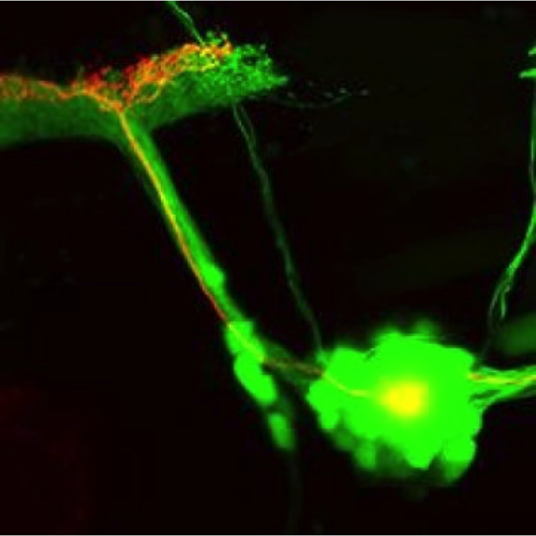 Zebrafish neurons repaired by photo-sensitive adenylyl cyclase