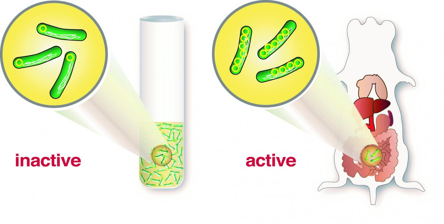 Illustration of the discovery by Umeå researchers. To the left: inactive Yersinia bacteria with just one ring-shaped DNA strand cannot cause infection. To the right: active Yersinia bacteria with multiple DNA plasmids which can cause intestinal disease in the mouse. / Credit: Kemal Avican, Umeå University