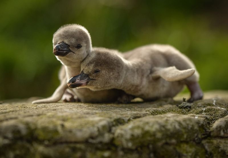 Two Humboldt penguin chicks play at the Chester Zoo
