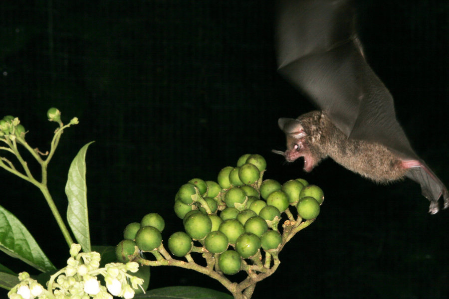 A bat feeds on a tree in the Costa Rican rainforest