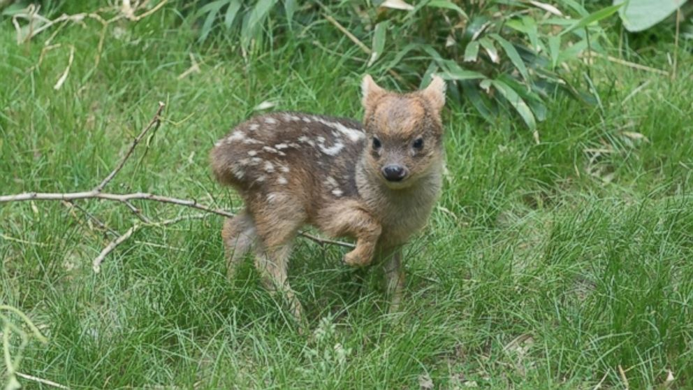 This is the world's smallest species of deer, and one was just born in a New York Zoo.