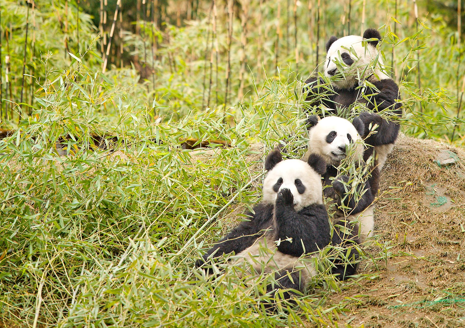 Here are some giant pandas snacking on bamboo.