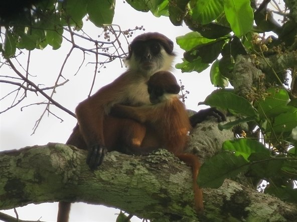The first ever photo of  a mother and baby red colobus monkey in the Democratic Republic of the Congo