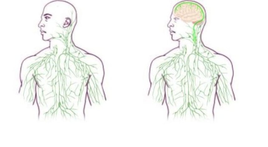 New map of lymphatic system (right) reflects discovery.
