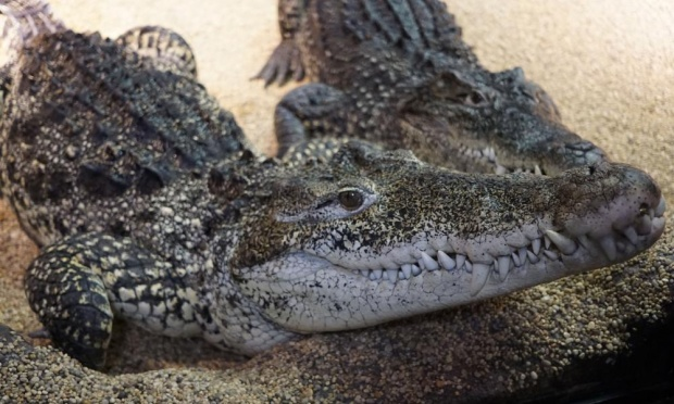 Two adult Cuban Crocodiles at the Skansen Zoo and Aquarium in Stockholm
