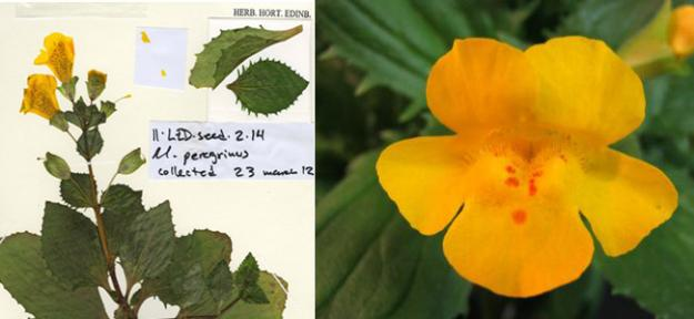 The Monkeyflower discovered in 2012 by Dr. Vallejo-Marin was discovered again, evolved in another location.