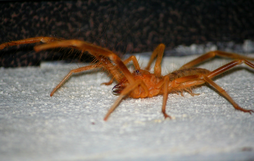 Scientists have found a way to classify solifugae based on jaw anatomy.