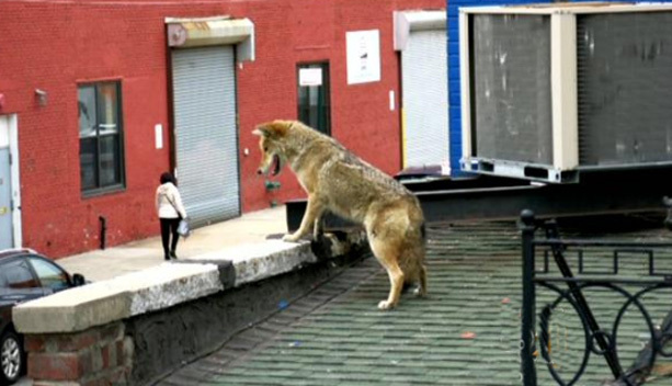 This happy  coyote was out on the town, winding up on the roof of a bar in Queens on March 30, 2015
