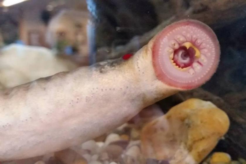 The Arctic Lamprey, native to Alaska, don't normally fall from the sky, but there's a first time for everything