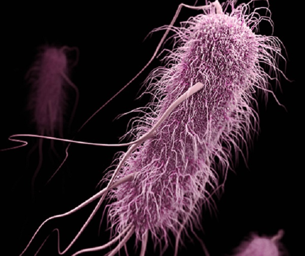 Bacteria that cause many hospital-associated infections are ready to quickly share genes that allow them to resist powerful antibiotics. The illustration, based on electron micrographs and created by the CDC, shows one of these antibiotic-resistant bacteria.