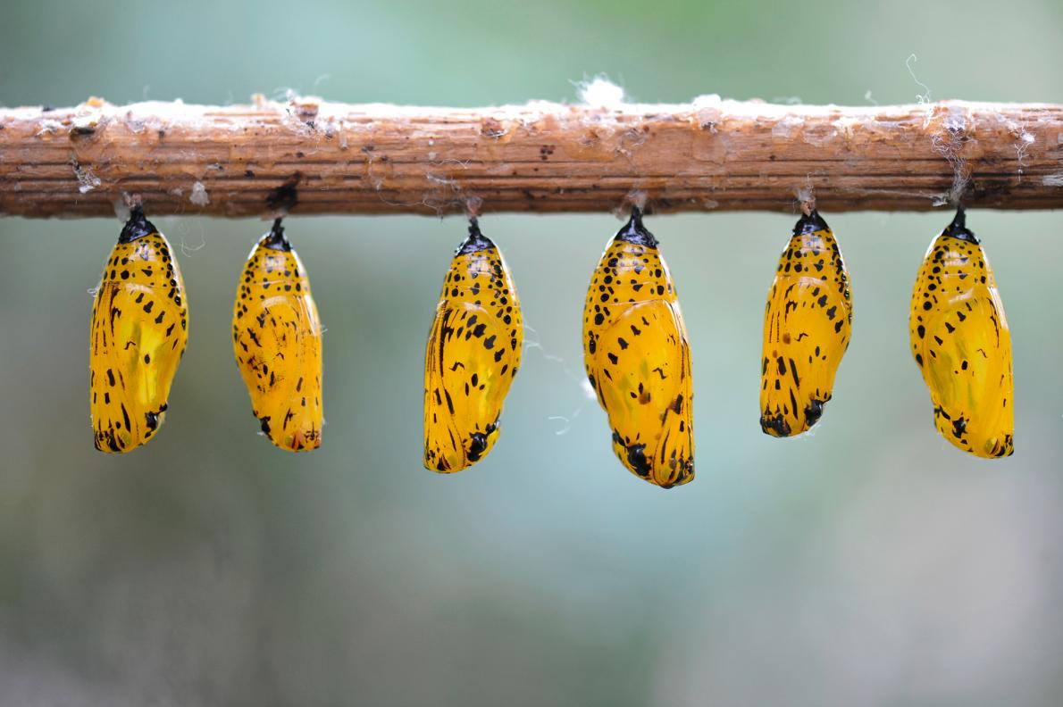 The sheen of these gold chrysalides offers a shield of camouflage for paper kite butterflies growing inside them.