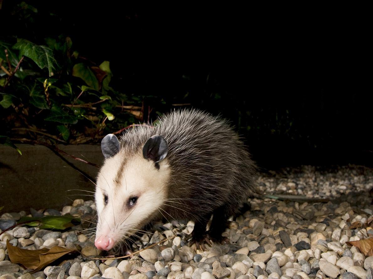 The Virginia Opossum has a natural immunity to snake venom