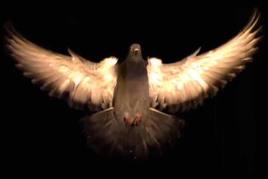 A new study shows birds use two highly stereotyped postures to avoid obstacles in flight. The study could open the door to new ways to program drones and other unmanned aerial vehicles to avoid similar obstacles.