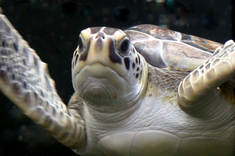 For the first time, a juvenile loggerhead turtle was tagged and released into the Pacific.