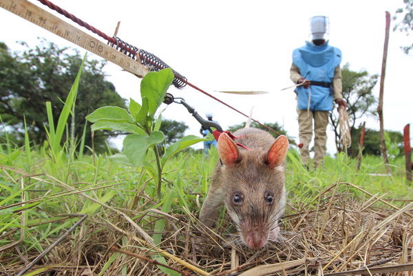 A Gambian pouched rat clears a minefield in northern Angola.