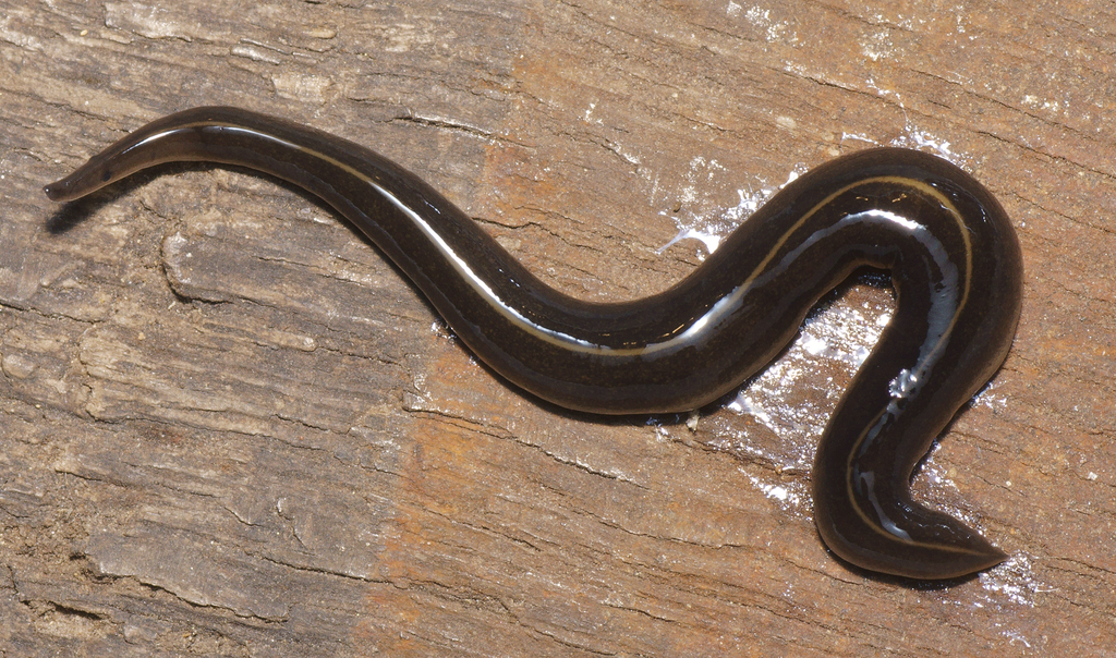 Though only two inches long, this worm could wreak havoc on the snail population