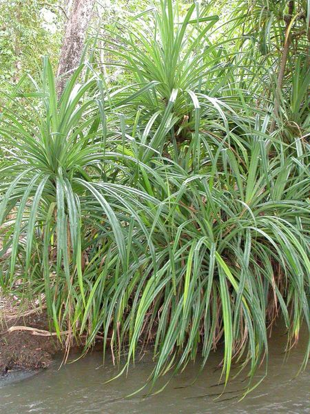 Pandalus Candelabrum could be an indicator of diamond-rich soil