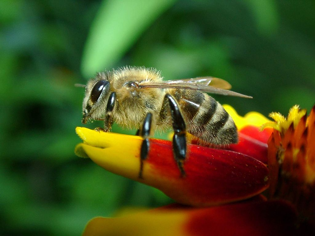 A western honeybee resting on a flower. Recently several countries are attempting to slow the decline of the honeybee