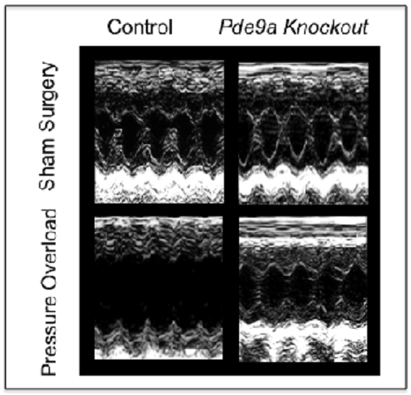 Ultrasound images of mouse hearts: Absence of PDE-9 protects the heart from the deleterious effects of pressure overload as seen in image, lower right corner. By contrast, mice with intact PDF-9 genes developed enlarged, dilated hearts captured here by walls that are stretched far apart from each other, shown in lower left corner.
