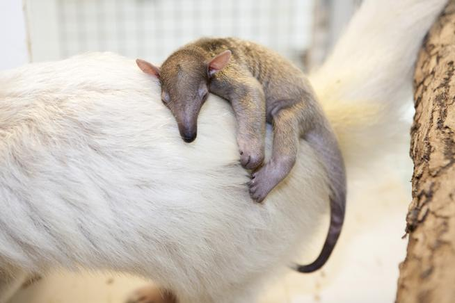 Baby Salvador rests on Mom at the Denver Zoo