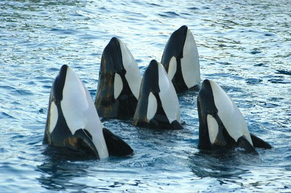 A herd of killer whales hunts for food together