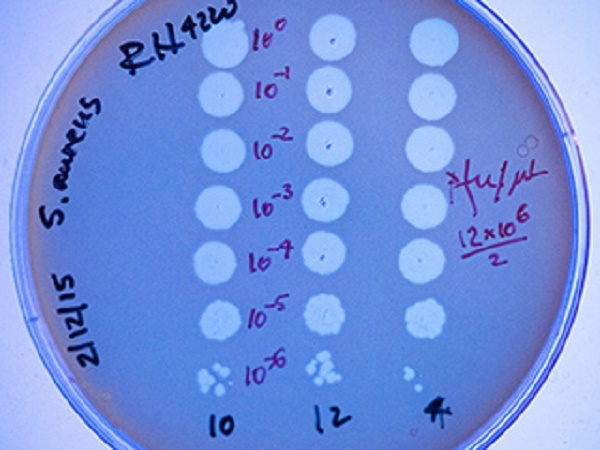 CRISPR systems allow bacteria to adapt to new viral threats. Staphylococcus aureus microbes lacking a CRISPR system are killed off by the bacteria-attacking virus ?NM4. This plate approximates the concentration of virus particles used in the recent experiments.