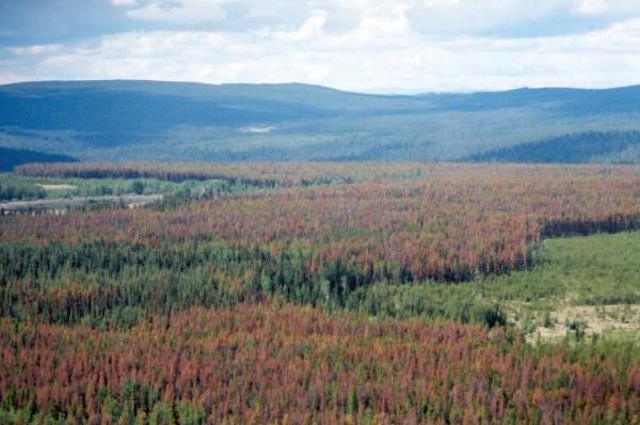 A forest ravaged by pine beetles. The brown trees are dead. Many of the green ones will be dead soon.