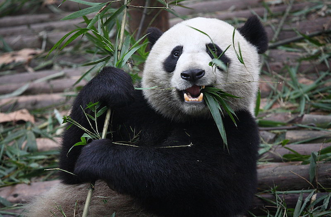 A happy Panda at snack time. Pandas like to party more than previously thought.
