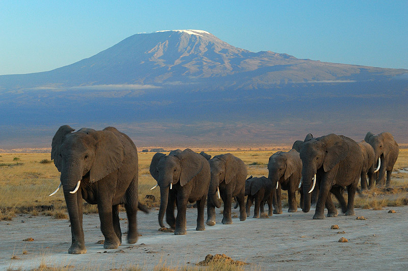 The elephant population in Mozambique has been severely impacted by poachers